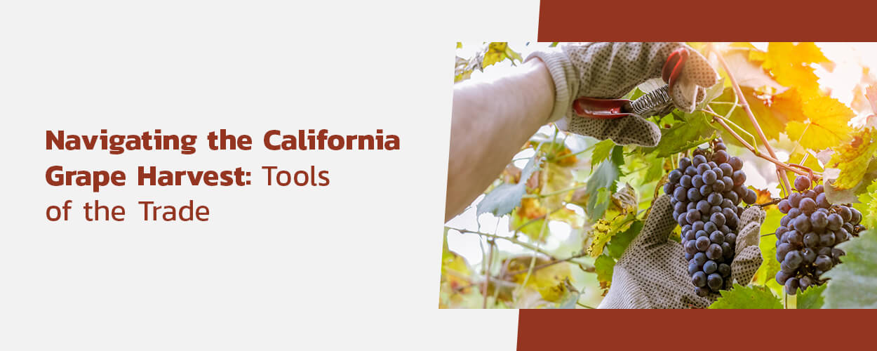 How are california grapes harvested